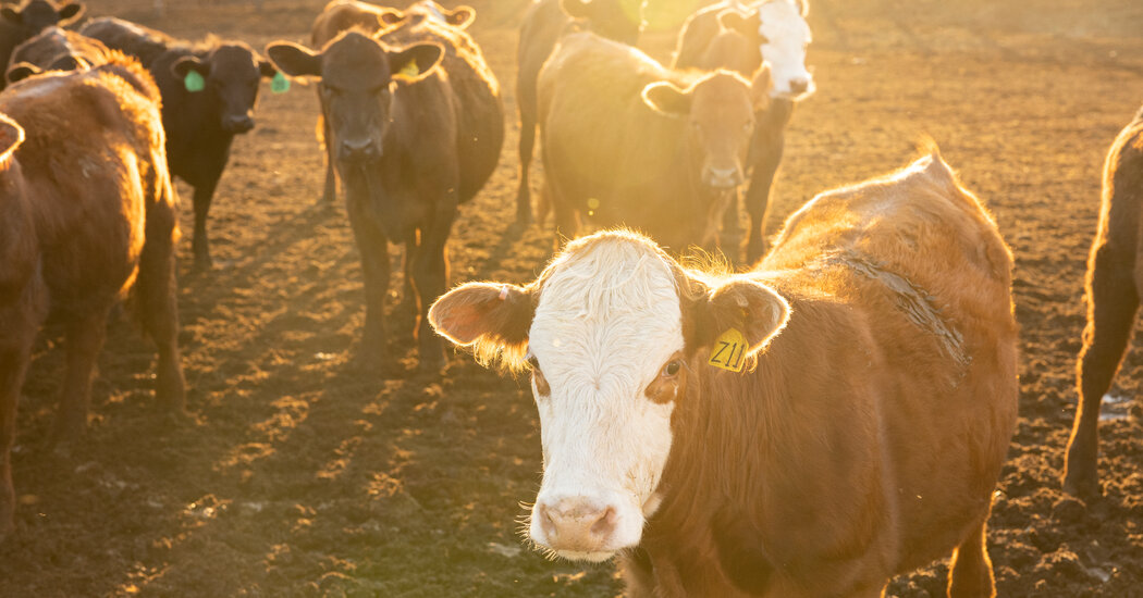 Beef Prices Are Rising as Bottlenecks Limit Supply